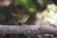 Free Common Yellowthroat (Geothlypis Trichas Trichas) Stock Images - 9740194