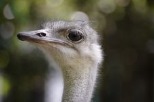 Free Ostrich Royalty Free Stock Photos - 9740908
