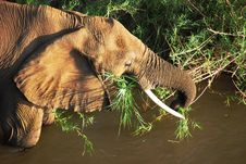 Free Mature African Elephant Feeding Royalty Free Stock Photos - 9741708