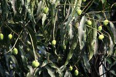 Mango Fruits Stock Images