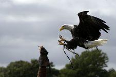 Eagle Strike! Stock Images