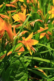 Free Lily Stock Images - 9743804