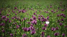 Free Vilet Poppy In Green Stock Photos - 9744393