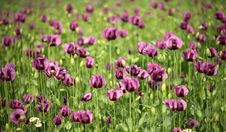 Free Vilet Poppy In Green Royalty Free Stock Image - 9744446