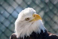 Free Beautiful American Bald Eagle Stock Photography - 9744542