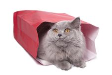 Free Cute British Kitten In Red Bag Isolated Royalty Free Stock Image - 9744696