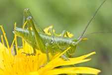 Free Yellow Flower And Grasshopper Royalty Free Stock Photo - 9744935