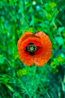 Free Beautiful Red Poppy Royalty Free Stock Photography - 9744937