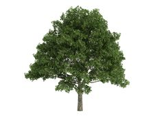 Free Oak_(Quercus) Stock Image - 9745841