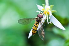Free Hover Fly Royalty Free Stock Photography - 9747387