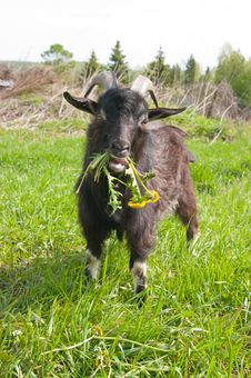 Free A Goat Chewing A Bunch Of Dandelions Stock Photo - 9747670