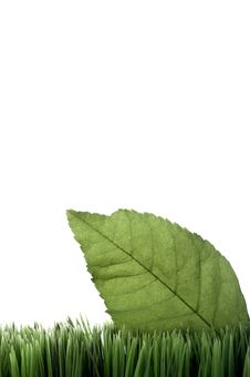Green Leaf On Grass On White Royalty Free Stock Image