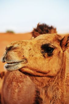 Free Wild Camel Royalty Free Stock Photos - 9749138