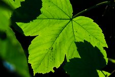 Free Leaves In Summer Time Stock Photo - 9749560