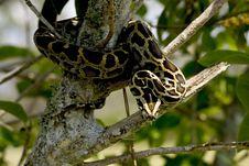 Free Burmese Python Snake Stock Images - 97447544