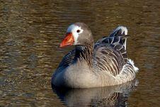 Free Pilgrim Goose Royalty Free Stock Images - 97447619