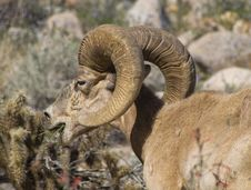 Free Sheep With Bighorn Stock Photography - 97447632