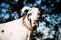 Free Great Dane Dog Stock Image - 9750461