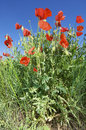 Free Poppies Royalty Free Stock Images - 9753749