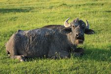 Free Old Buffalo On A Green Grass Stock Photography - 9750612