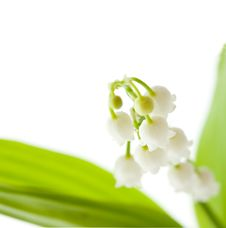 Free Lily Of The Valley Stock Photography - 9750672
