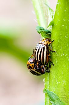 Free Colorado Beetle Royalty Free Stock Images - 9750699