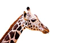 Free Giraffe On White Royalty Free Stock Photos - 9751218