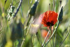 Free Poppy Stock Image - 9753921