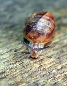 Free Garden Snail Stock Image - 9754971