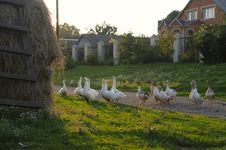 Free Geese Royalty Free Stock Photography - 9755457