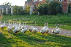 Free Geese Royalty Free Stock Images - 9755569