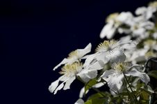 Free White Clematis Royalty Free Stock Photography - 9756737