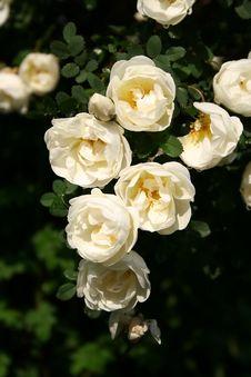 Free Scarlet Flowering Rose Royalty Free Stock Images - 9758459