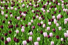 Free Romantic Tulip Garden Royalty Free Stock Photos - 9758948