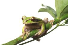 Free Tree Frog Royalty Free Stock Images - 9759279
