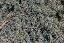 Free Spruce Bough Background Royalty Free Stock Image - 9759366