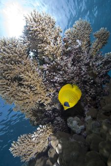 Butterfly Fish Royalty Free Stock Images