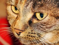 Free Cat, Whiskers, Eye, Small To Medium Sized Cats Stock Image - 97502551