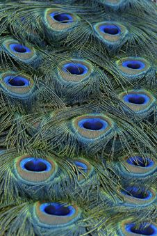 Free Feather, Peafowl, Close Up, Organism Royalty Free Stock Photos - 97502598