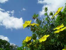 Free Yellow Potentilla Fruticosa Bush, Sky In Background. Stock Photo - 97517120