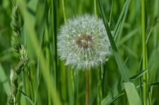 Free Dandelion, Flower, Grass, Flora Royalty Free Stock Images - 97522069