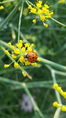 Free Ladybird On Small Flower Royalty Free Stock Photography - 97537467