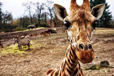 Free Giraffe Head Stock Image - 97537571