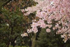 Free Cherry Blossoms Royalty Free Stock Photo - 97537875