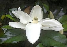 Free NC 10 - MAGNOLIA BLOSSOM &x28;Magnolia Grandiflora&x29; &x28;June 2017&x29; -WATERCOLOR Royalty Free Stock Photo - 97537905