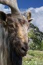Free Mountain Goat Royalty Free Stock Photo - 9761185