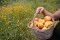 Free Picking Apricots Royalty Free Stock Photos - 9766258