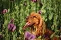 Free Vilet Poppy In Green Royalty Free Stock Image - 9766916