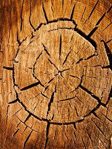 Tree An Oak A Cut Royalty Free Stock Image
