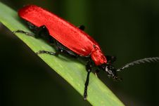 Free Cardinal Beetle Stock Photo - 9761050